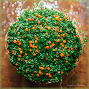Slaapkamergeluk - Soleirolia soleirolii - donkergroene bladeren