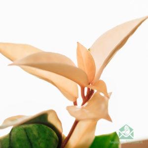 Hoya carnosa albomarginata 3 colors