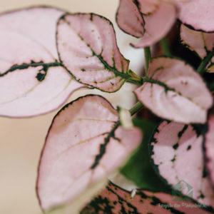 Hypoestes Phyllostachya Pink kopen