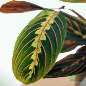 Maranta Leuconeura 'Fascinator Tricolor' (Calathea familie)