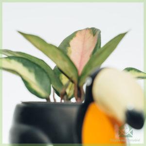 Hoya carnosa albomarginata tricolors babyplantjes kopen