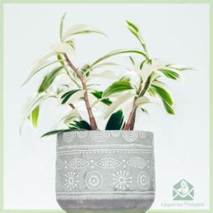 Costus arabicus variegata - Ginger Spiral - kopen en verzorgen