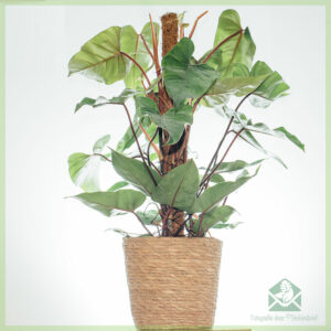 Philodendron Red Emerald (mosstok)